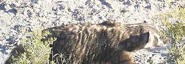 Badger at Dove Ranch